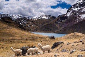 ausangate trek lake alpacas