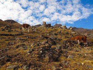 happy llamas grazing on the lares valley trek in cusco peru killa expeditions adventure trekking trips
