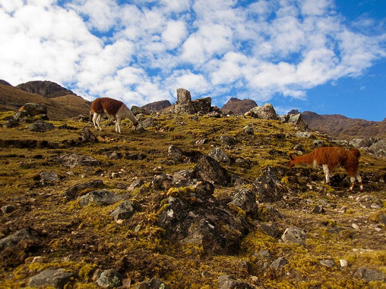 happy llamas grazing on the lares valley trek in cusco peru