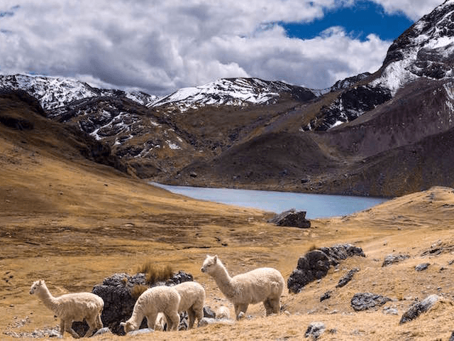 llamas lake alpacas on ausangate mountain trek