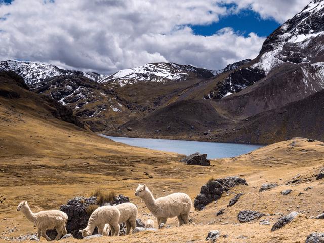 llamas roaming ausangate machu picchu trek
