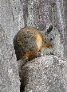 peruvian rabbit on rock