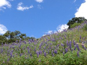 lupine fields on the choquequirao ruins trek in cusco peru killa expeditions adventure trekking trips