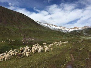 Llama heard walking in the mountain range
