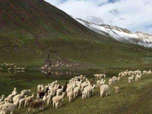 llamas roaming in rainbow mountain machu picchu trek path
