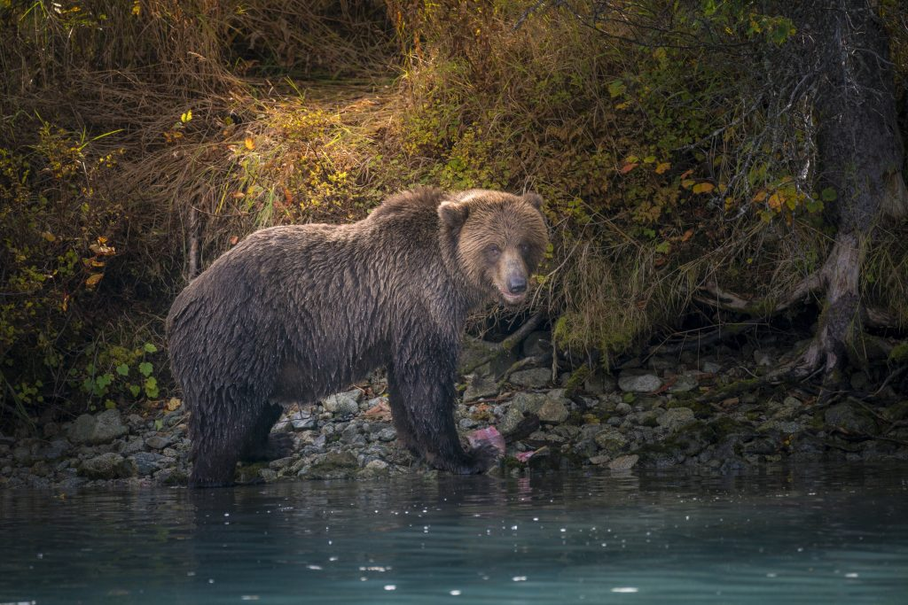 Nate Luebbe Photography - Brown Bear At River